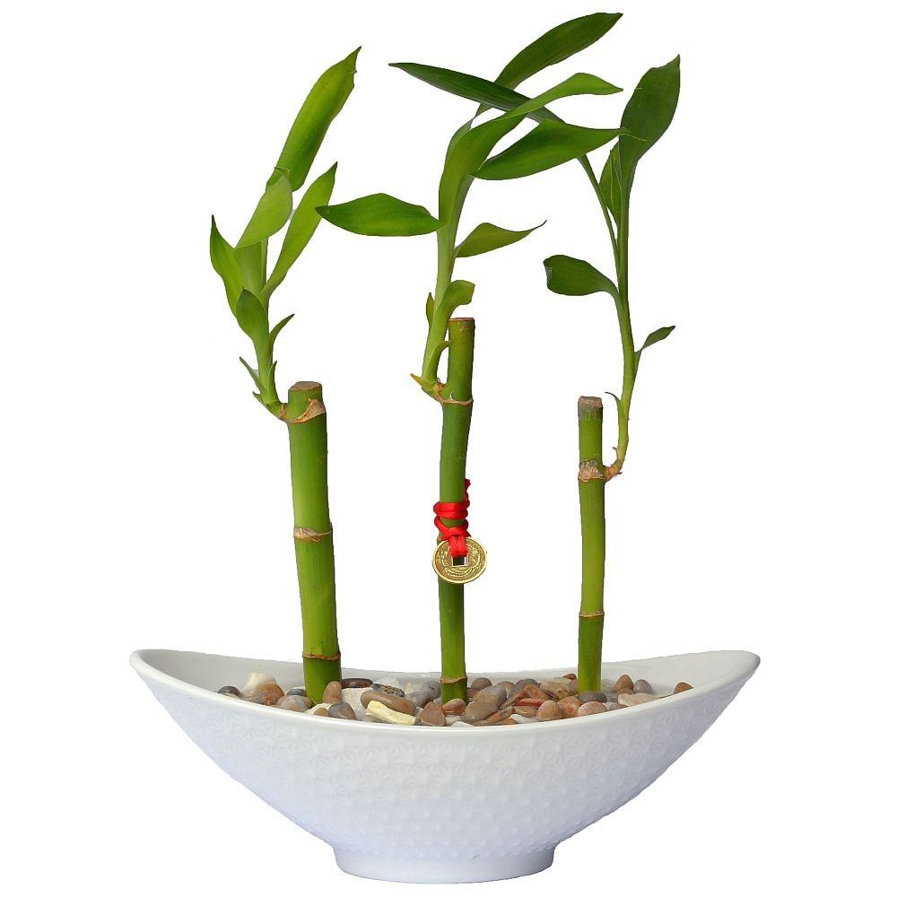 Lucky Bamboo - Fuente 3 Tallos, Florería Green House, Florerías en Lima, Florería en La Molina